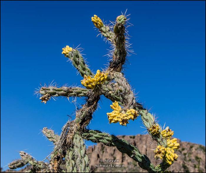 Cholla Cactus 9223