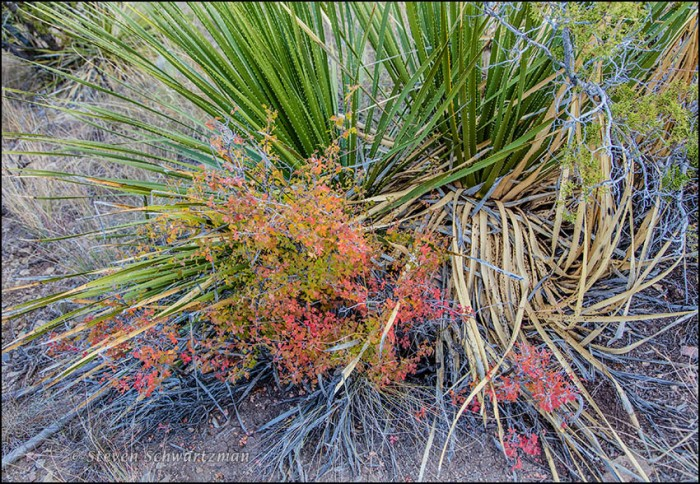 Colorful Rhus triloba in Shelter of Sotol 0295