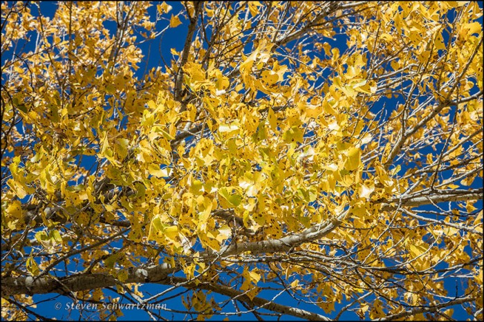 Cottonwood Leaves Turned Yellow 9250