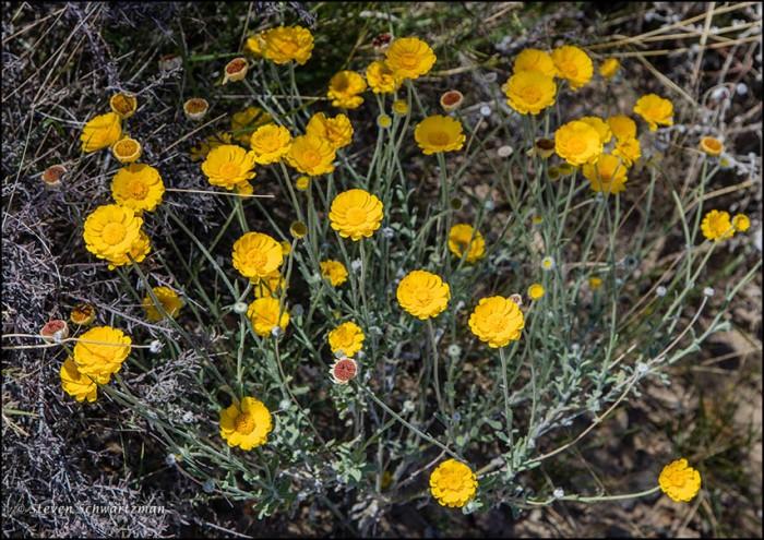 Desert Marigolds 9865