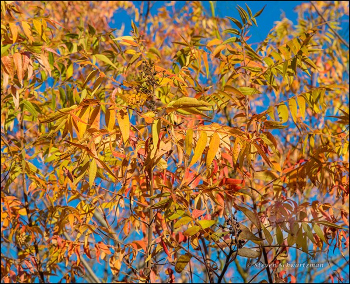 Flameleaf Sumac Turning Colors 0647