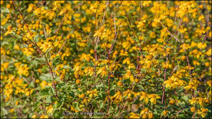 Goldeneye Densely Flowering 0660