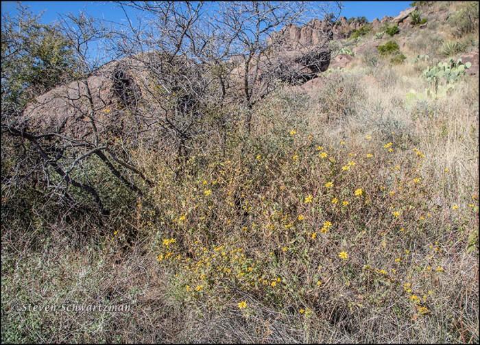 Goldeneye Flowering in Fort Davis 9457
