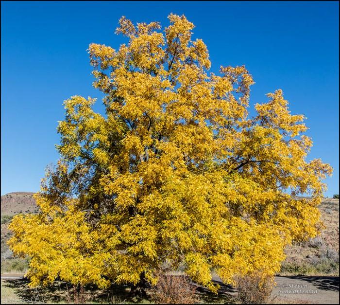 Large Pecan Tree Turned Yellow 9093