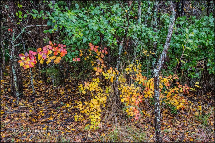 Three-Leaf Sumac Turning Colors by Cedar Elm and Yaupon 0992