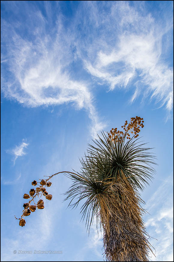 Yucca Gone to Seed with Wispy Clouds 9872