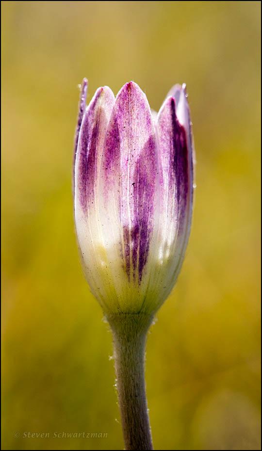 Anemone Flower Opening 2605