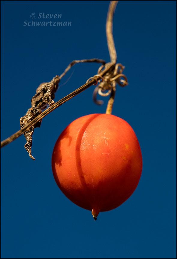 Balsam Gourd Fruit 1288