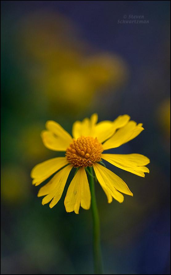 Bitterweed Flower Head 1347