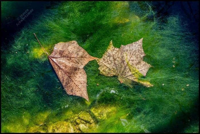 Brown Sycamore Leaves Fallen on Green Algae 3266