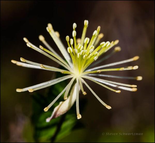 Clematis drummondii Flower 1295