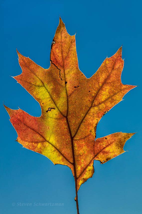 Colorful Oak Leaf Against Blue Sky 0773