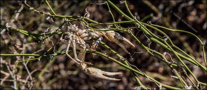 Dead Crawfish on Greenbrier Vines 1842
