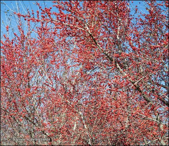 Dense Possumhaw Fruit 2584