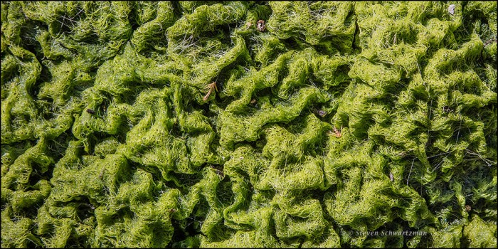Drying Green Algae Looking Like Brains 3305