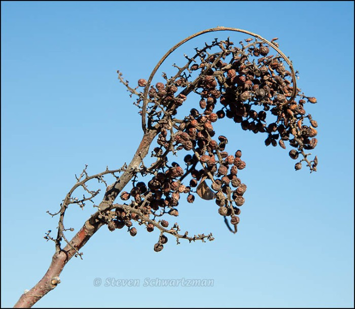 Flameleaf Sumac Fruit Cluster Drying Out 1786