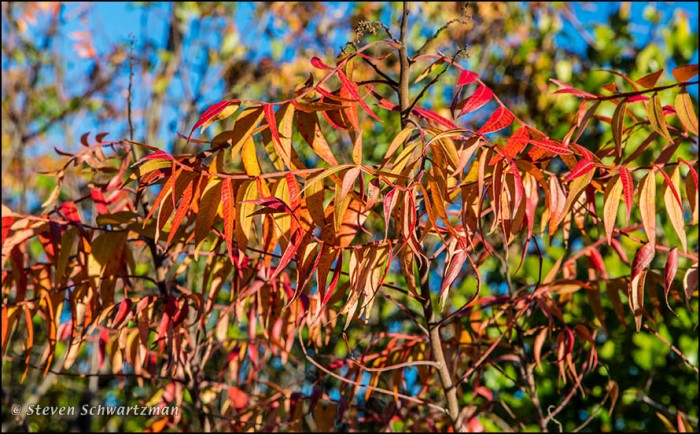 Flameleaf Sumac Turning Colors 0556