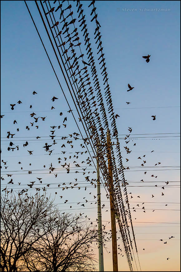 Grackles Flying and on Wires 1522