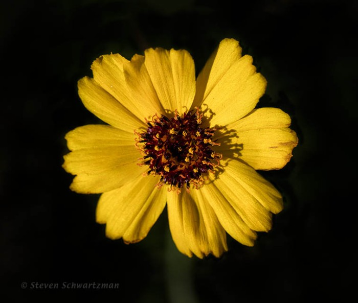Greenthread Flower Head 1674