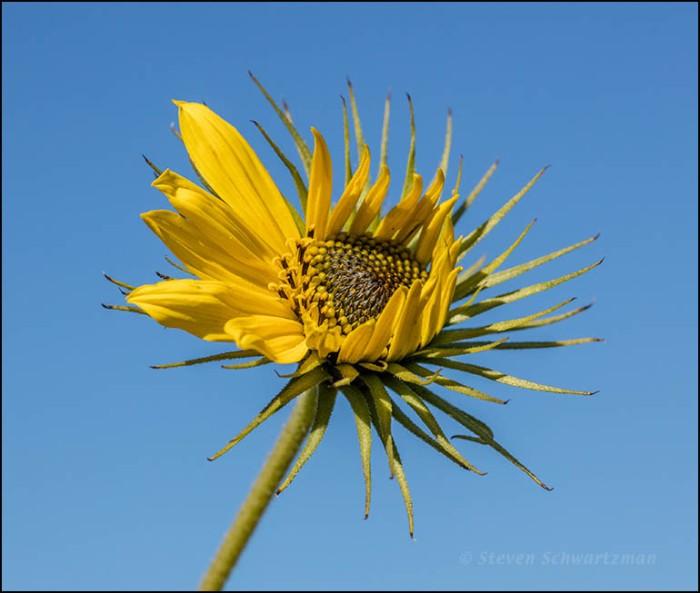 Maximilian Sunflower Flower Head Opening 1721