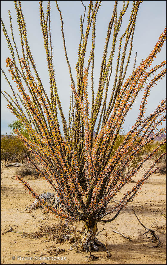 Ocotillo Turning Orange 0538