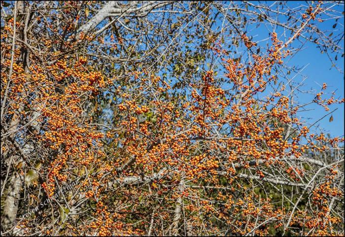 Possumhaw with Orange Fruit 1847