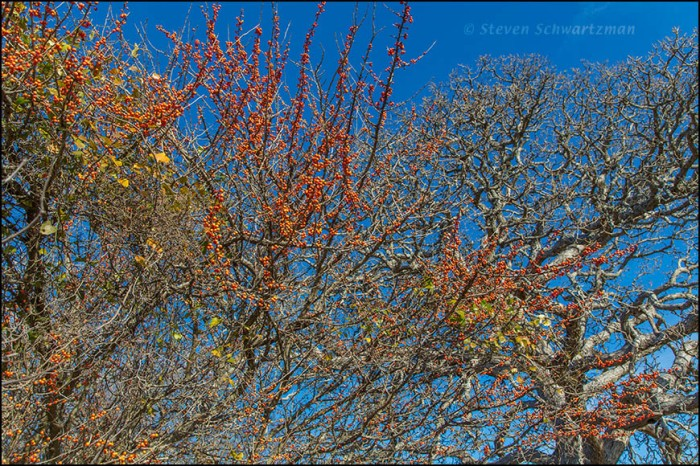 Possumhaw with Orange Fruit by Bare Live Oak Tree 5607