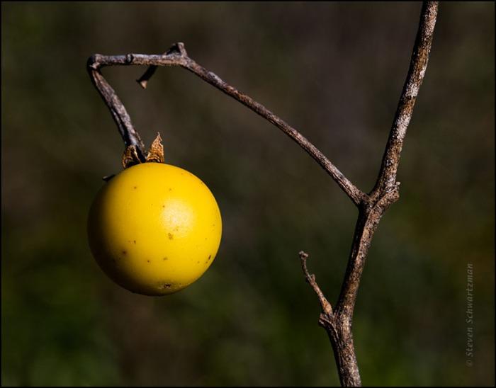 Silverleaf Nightshade Fruit 1323