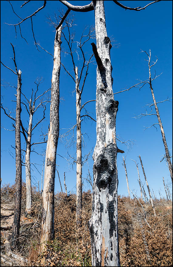 Burned Tree Remains in Bastrop State Park 4653