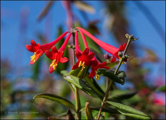 Coral Honeysuckly Flowers 5659