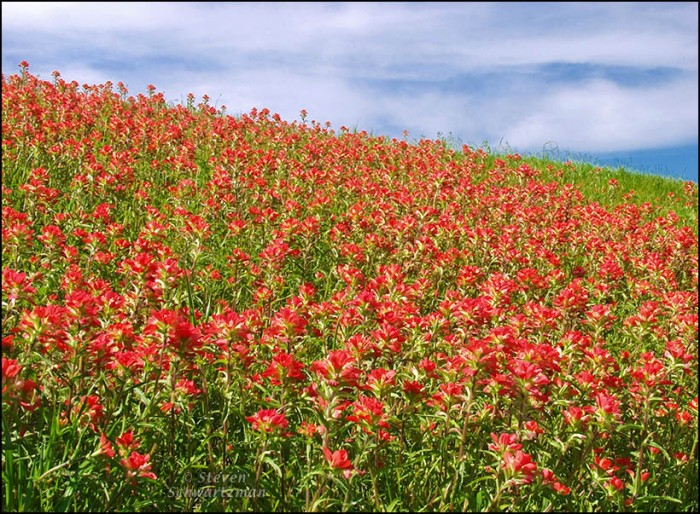 Dense Indian Paintbrushes on Slope 3