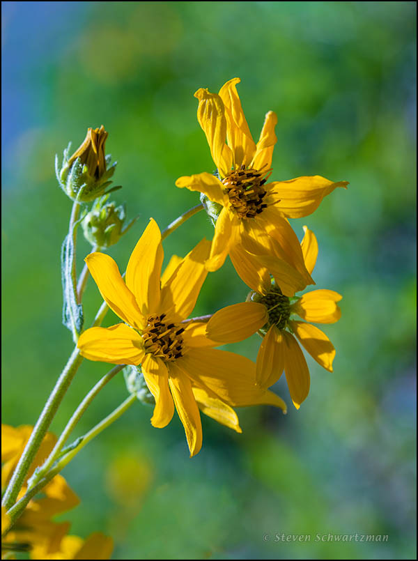 Engelmann Daisy Flower Heads 5307