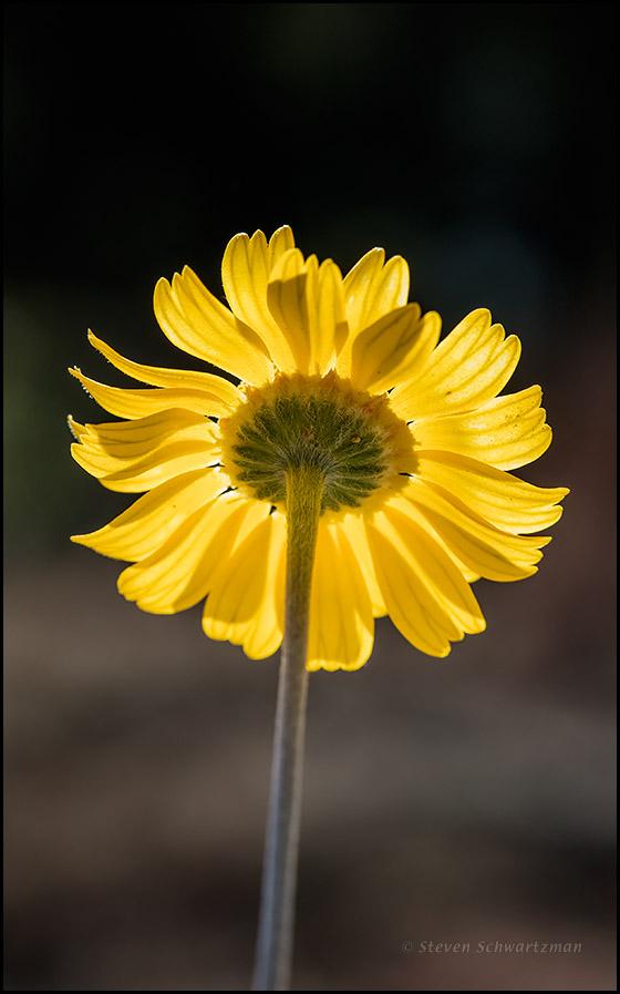 Four-Nerve Daisy Flower Head from Below 2894