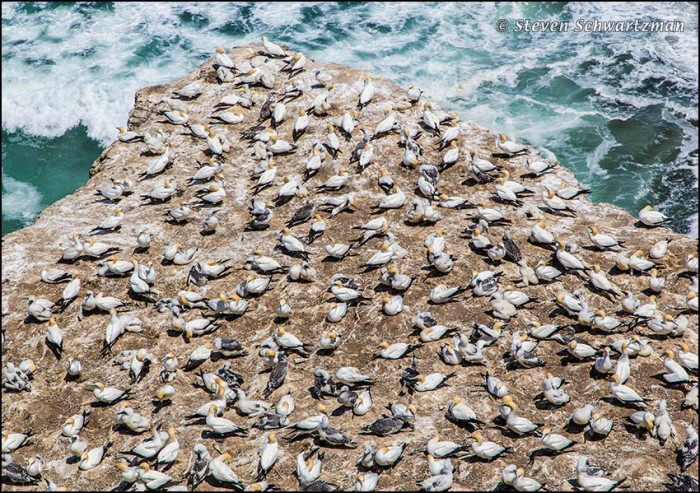 Gannet Colony at Muriwai 3571