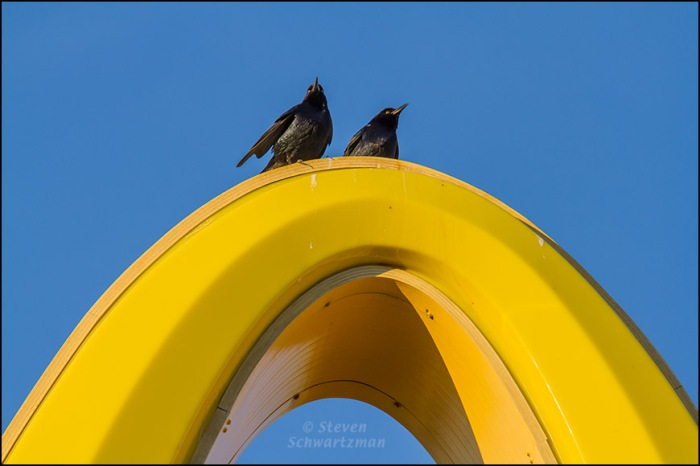 Grackles on McDonald's Golden Arch 1390
