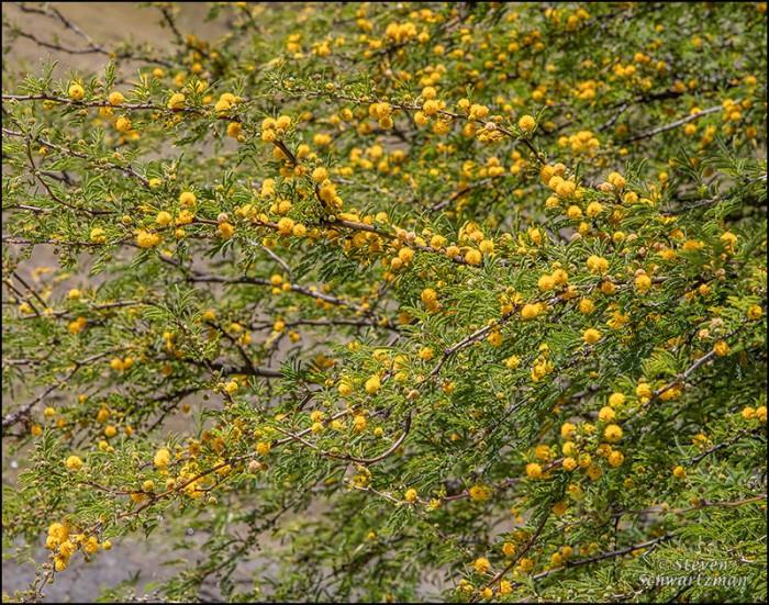 Huiache Tree Flowering 5424