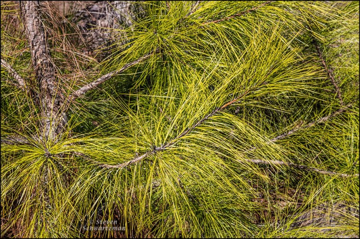 Loblolly Pine Sapling Detail 4585