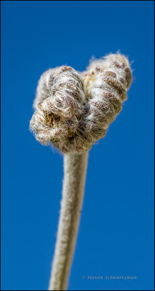 Malformed Tetraneuris Bud 2921