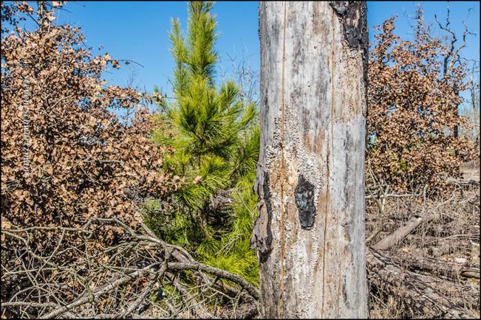 Pine Sapling Among Dead Trees 4576