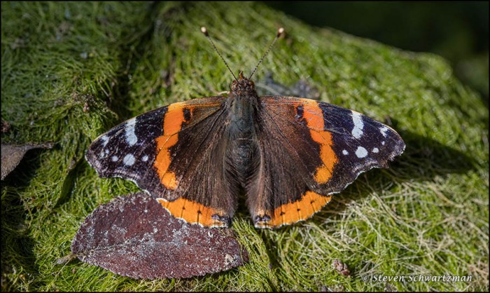 Red Admiral Butterfly on Algae 5108