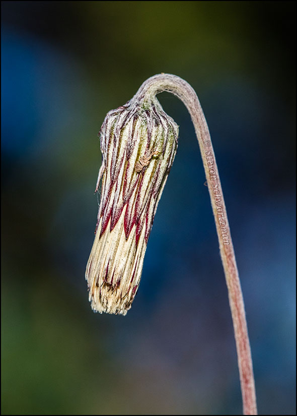 Silverpuff Flower Head 3352