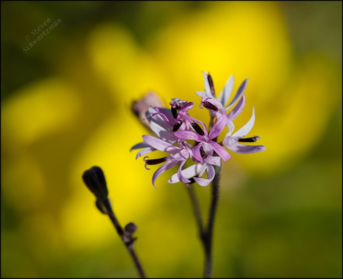 Small Palafoxia Flower Head by Square-Bud Primrose Flower 4143