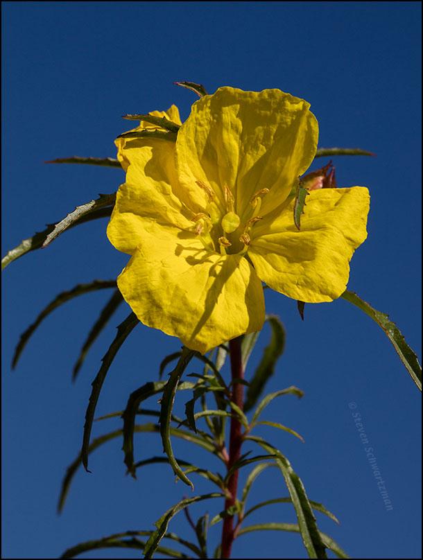 Square-Bud Primrose Flower 4124