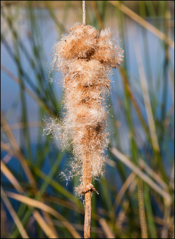 Cattail Turned Fluffy by Bulrushes 5732