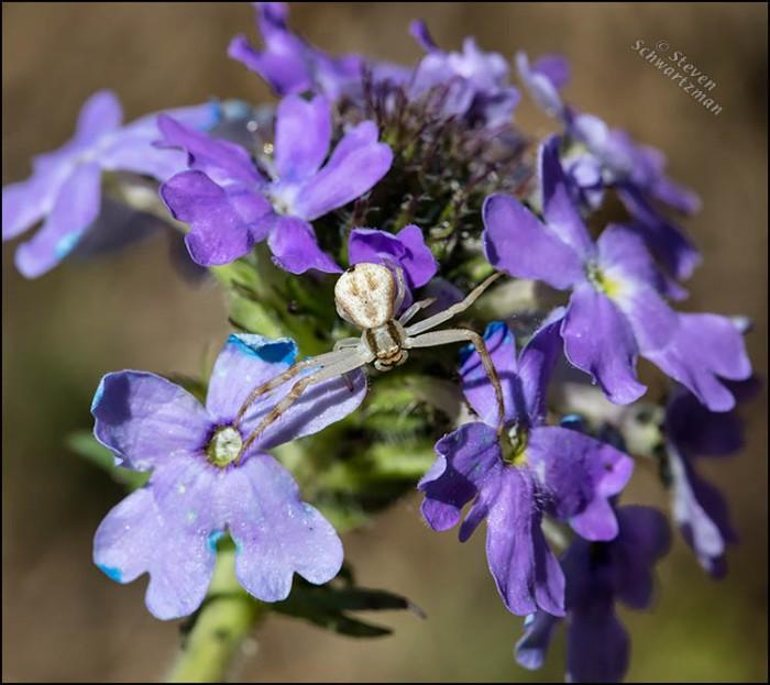 Crab Spider on Prairie Verbena 6199