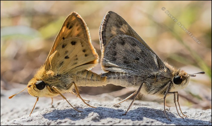 Fiery Skippers Mating 5574