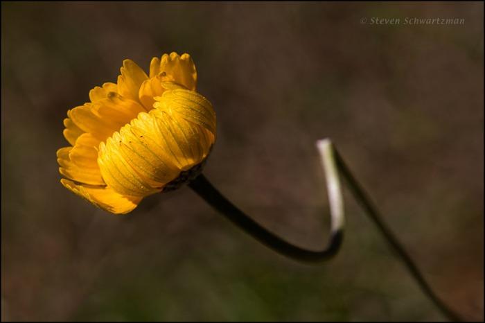 Four-Nerve Daisy Flower Head Opening on Broken Stalk 7938
