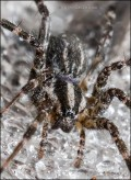 Funnel Web Spider in Spiderweb with Drizzle Drops 8222 Detail