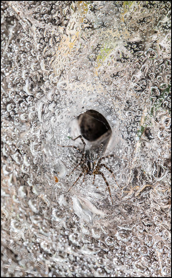 Funnel Web Spider in Spiderweb with Drizzle Drops 8222