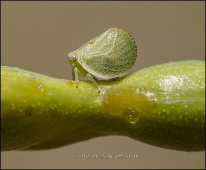 Leafhopper on Mesquite Pod 5066